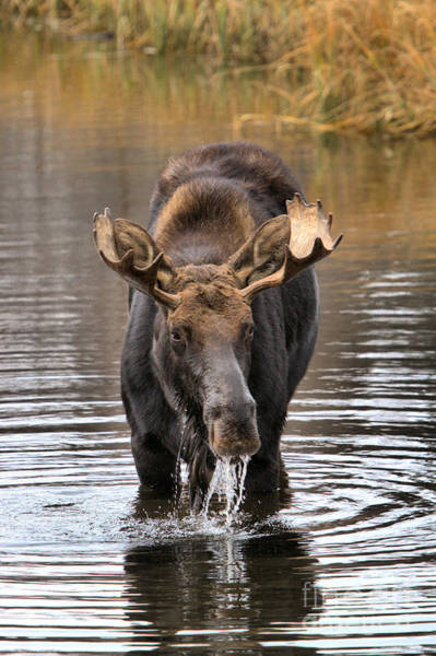 Drool Photograph - Moose Drooling Portrait by Adam Jewell
