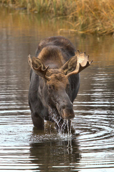Drool Photograph - Moose Drools And Drips by Adam Jewell