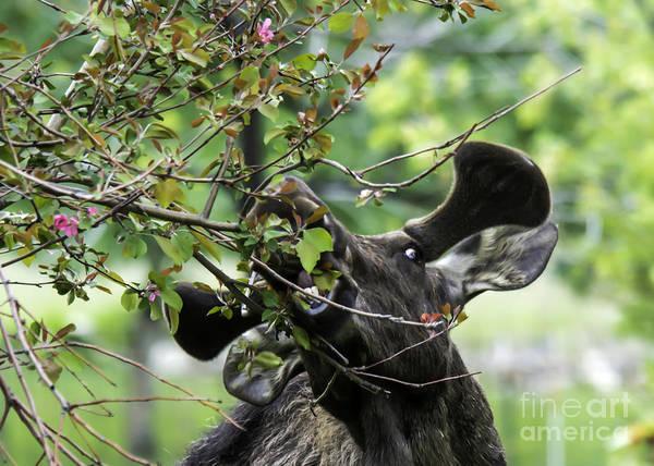 Photograph - Moose Eating Crab Apple Tree by Gary Beeler