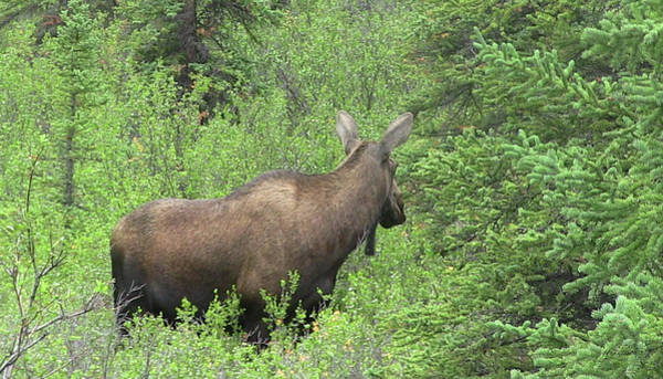 Photograph - Moose by Gary Gunderson
