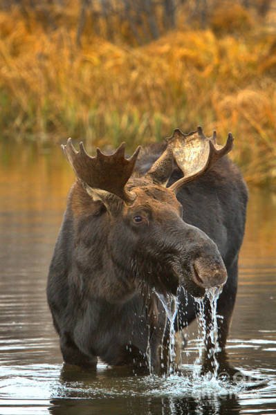 Drool Photograph - Moose Gusher by Adam Jewell