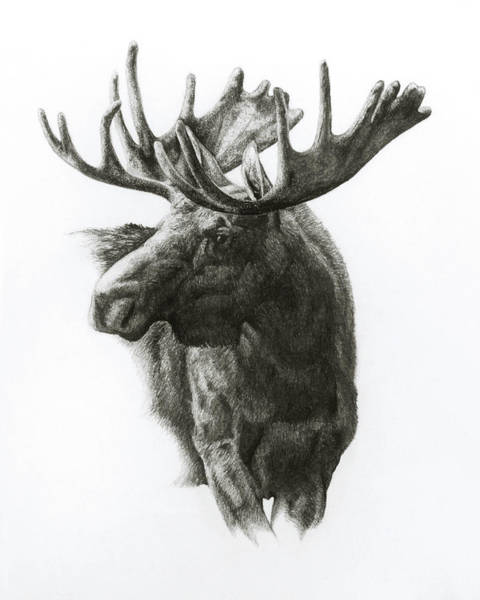 Antlers Drawing - Moose by Heather Theurer