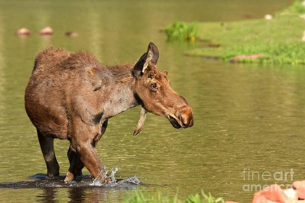 Photograph - Moose In Maroon Lake by Adam Jewell