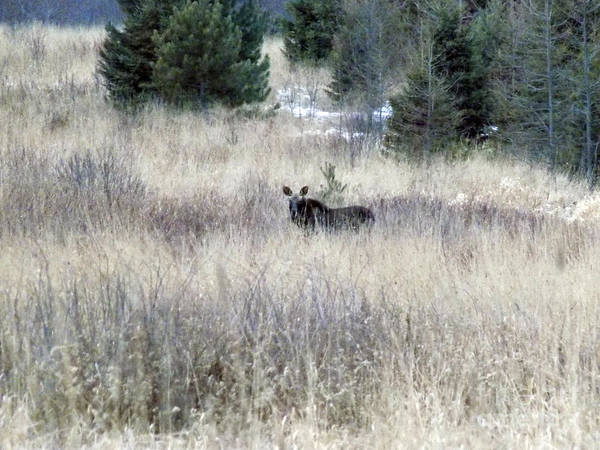 Wall Art - Photograph - Moose In The Distance by William Tasker