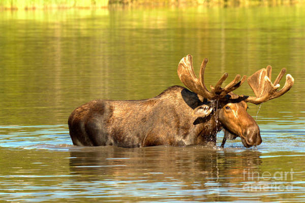 Photograph - Moose In The Forest Reflections by Adam Jewell