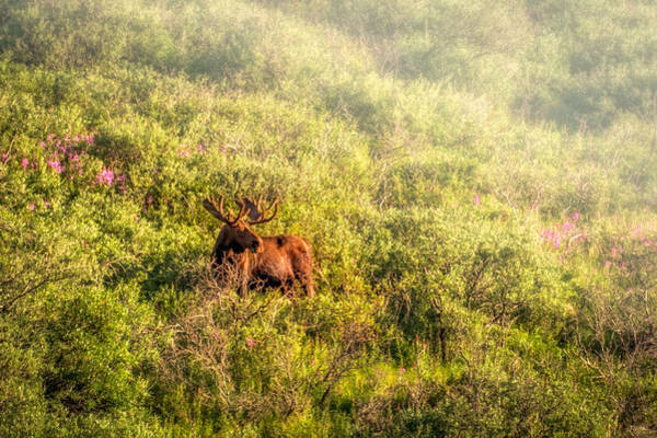 Photograph - Moose In The Mist by Claudia Abbott