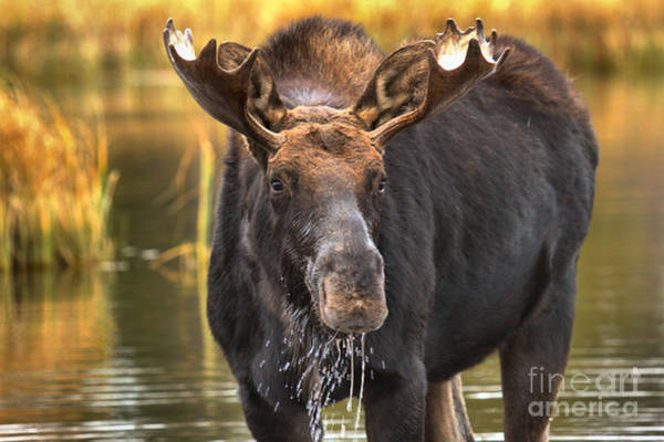 Drool Photograph - Moose In The Teton Wetlands by Adam Jewell