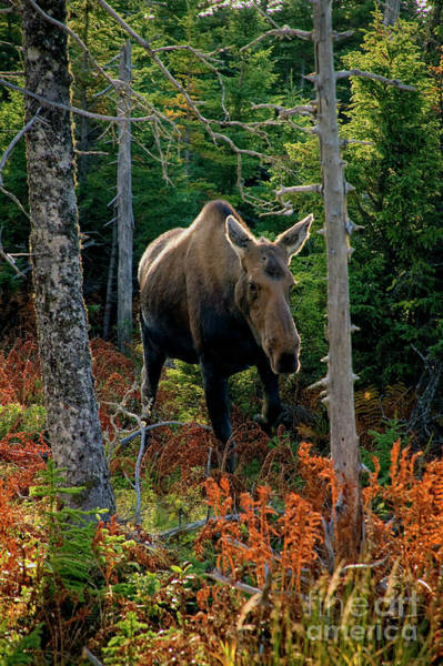 Photograph - Moose In The Wild by Scott Kemper