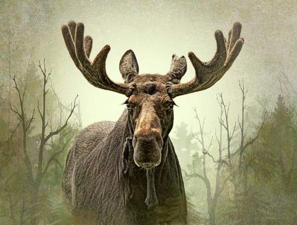 Wall Art - Photograph - Moose In The Woodland Forest by Jennie Marie Schell