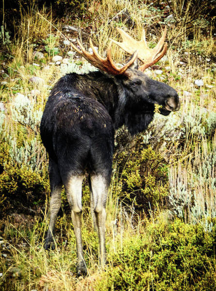 Photograph - Moose by Norman Hall