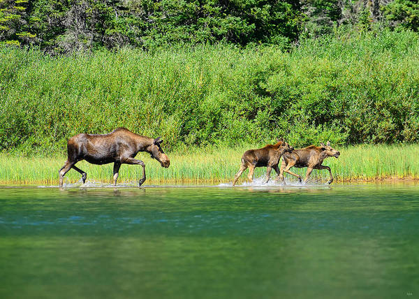 Photograph - Moose Play by Greg Norrell