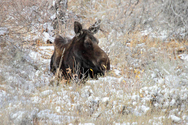 Photograph - Moose Sleeping In Grand Teton National Park by Pierre Leclerc Photography