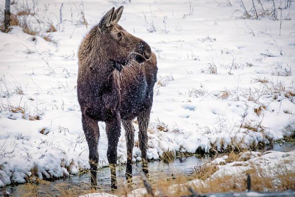 Photograph - Moose by Stuart Litoff