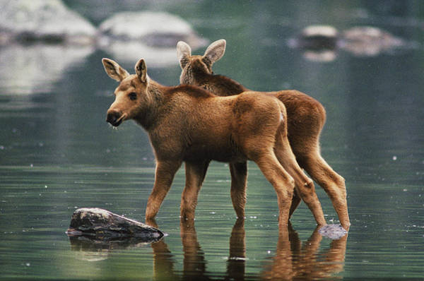Baxter State Park Photograph - Moose Twins Alces Alces Americana by Phil Schermeister