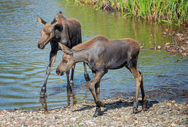Photograph - Moose Twins by Loree Johnson