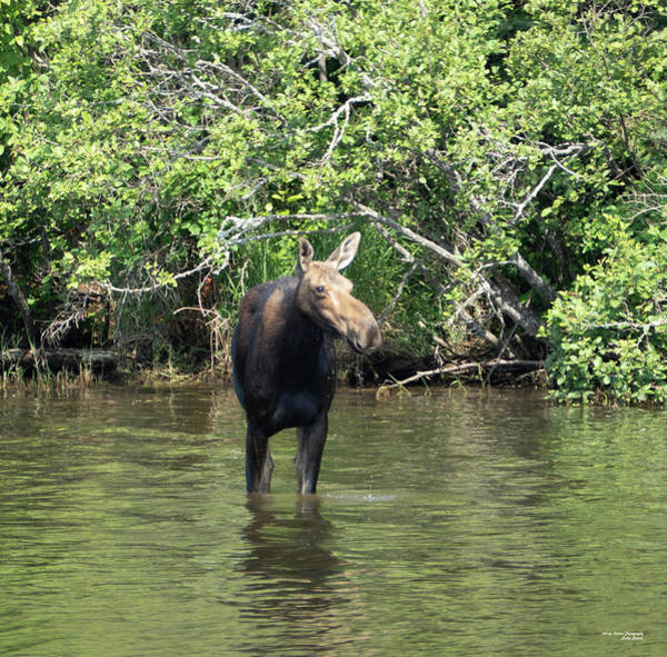 Photograph - Moose Wading by Sally Sperry