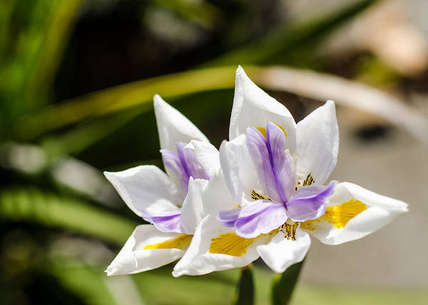 Photograph - More Lilies by Tom Potter