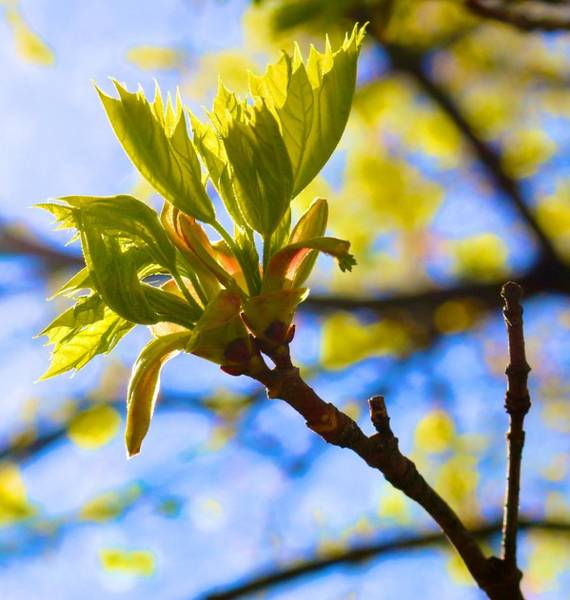 Photograph - Meek New Leaves by Polly Castor