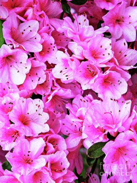 Photograph - More Pink Azaleas by Larry Oskin