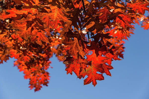 Photograph - More Than Fifty Shades Of Red - Glossy Leathery Oak Leaves In The Sunshine - Downward by Georgia Mizuleva