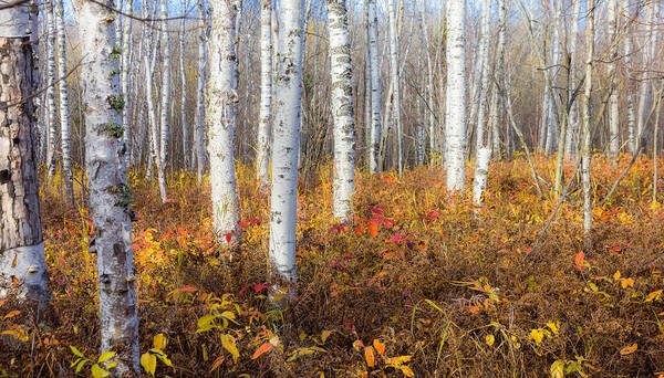 White Birch Trees Wall Art - Photograph - More To The Under-story by Mary Amerman