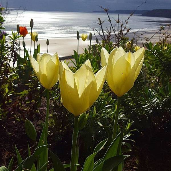 More Tulips At The #seaside Art Print by Dante Harker