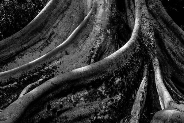 Allerton Garden Photograph - Moreton Bay Fig In Bw by Alan Hart