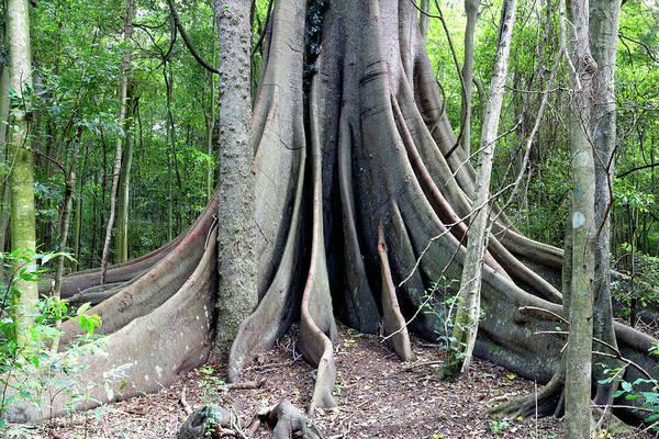 Photograph - Moreton Bay Fig Tree by Nicholas Blackwell
