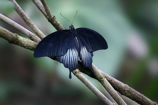 Photograph - Great Mormon Butterfly by Debi Dalio