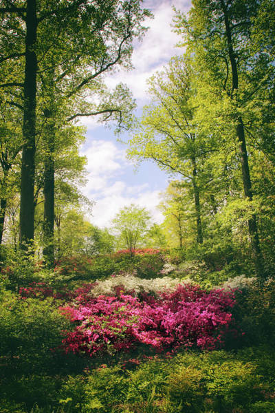 Photograph - Morning Azaleas by Jessica Jenney