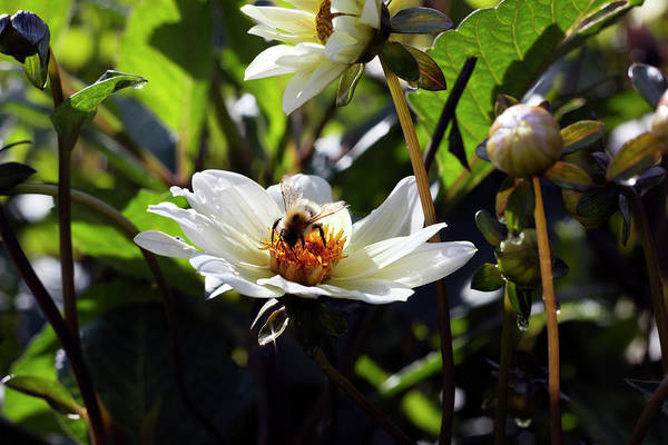 Photograph - Morning Bee by Helga Novelli