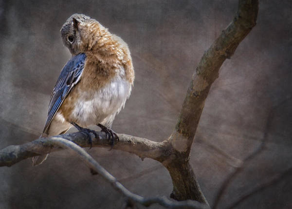 Chirping Photograph - Morning Bluebird Song by Bill Tiepelman