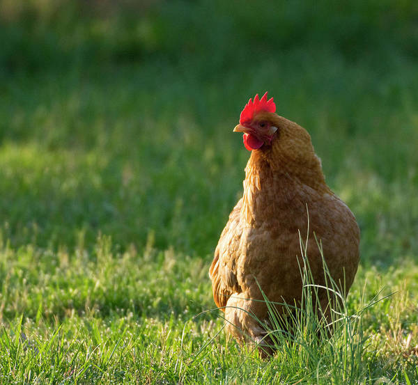 Photograph - Morning Chicken by Buddy Scott