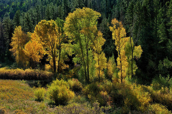 Photograph - Morning Cottonwoods by Ron Cline