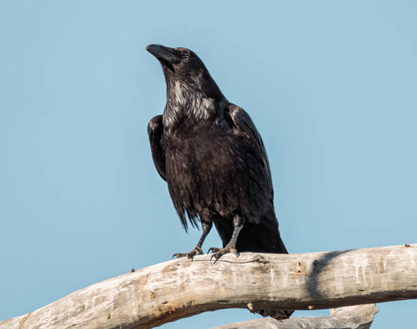 Photograph - Morning Crow by Loree Johnson