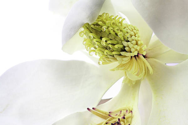 Photograph - Morning Dew Magnolia by JC Findley