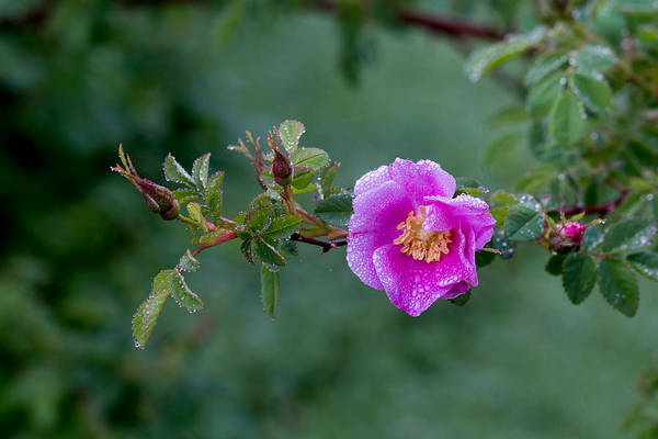 Photograph - Morning Dew On Pink Rose by E Faithe Lester