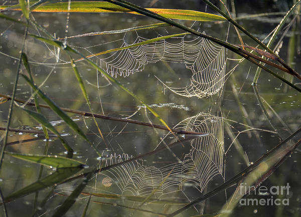 Photograph - Morning Dew On Spider Web by Odon Czintos