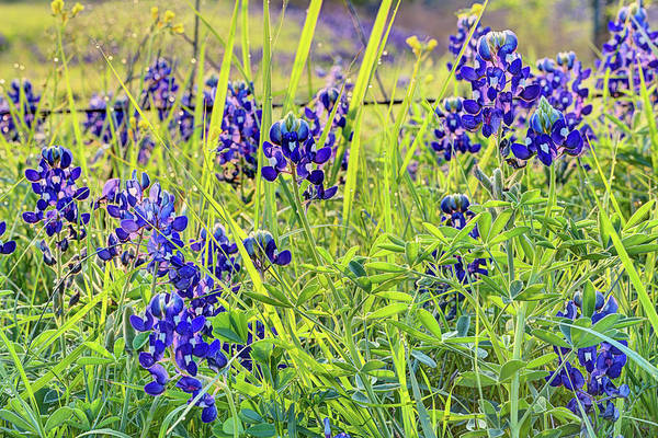 Wall Art - Photograph - Morning Dew On The Bluebonnets by JC Findley