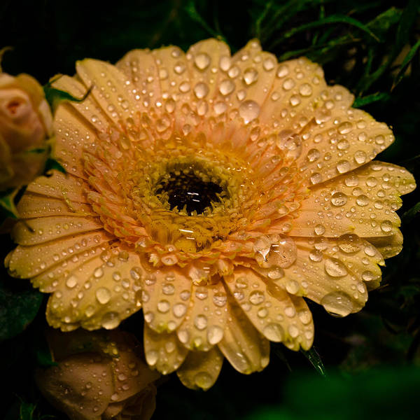 Photograph - Morning Dew On The Daisy by David Patterson