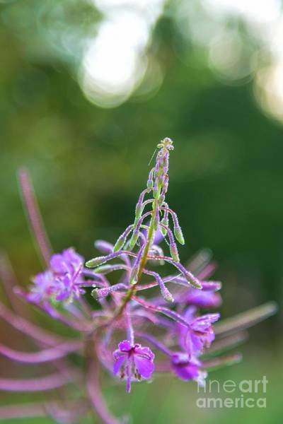 Fireweed Photograph - Morning Dew by Veikko Suikkanen