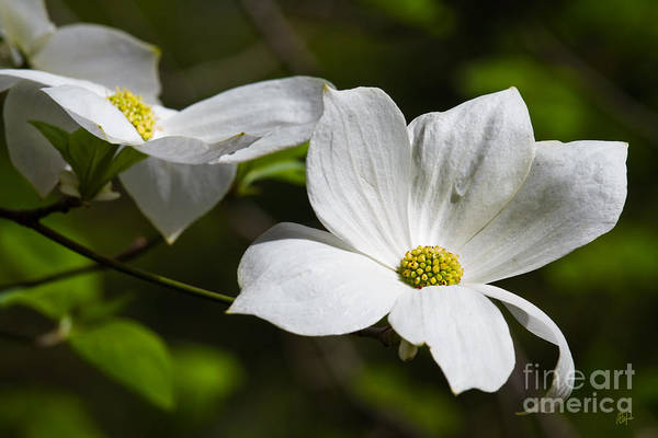 Photograph - Morning Dogwoods 2 by Anthony Michael Bonafede