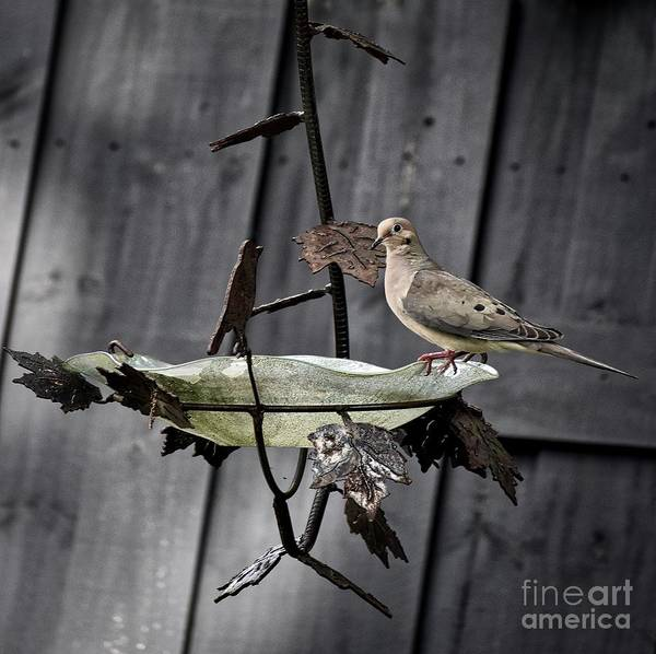 Critters Photograph - Morning Dove by Skip Willits