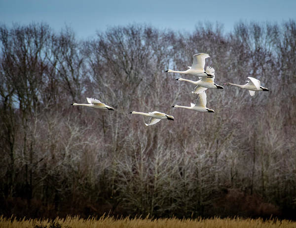 Photograph - Morning Flight Of Tundra Swan by Donald Brown