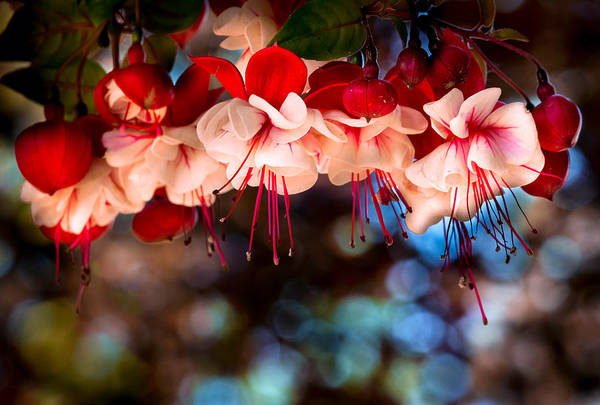 Photograph - Morning Fuchsia by Harold Coleman
