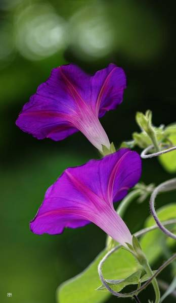 Photograph - Morning Glories by John Meader