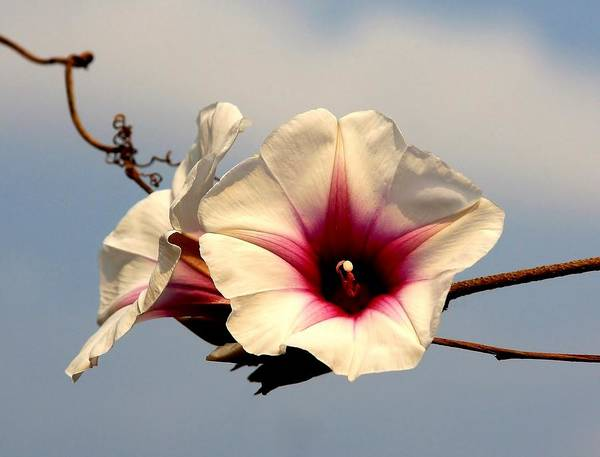 Convolvulaceae Wall Art - Photograph - Morning Glory 2 by Stacie Gary