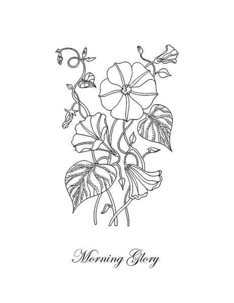 Drawing - Morning Glory Botanical Drawing by Irina Sztukowski