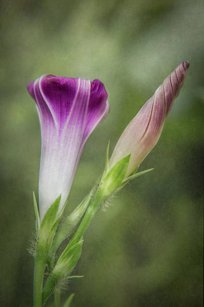 Photograph - Morning Glory Bud And Bloom by Patti Deters