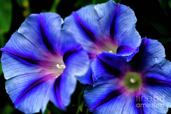 Photograph - Morning Glory by Thomas R Fletcher